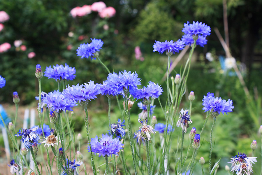 Fleurs d'Italie