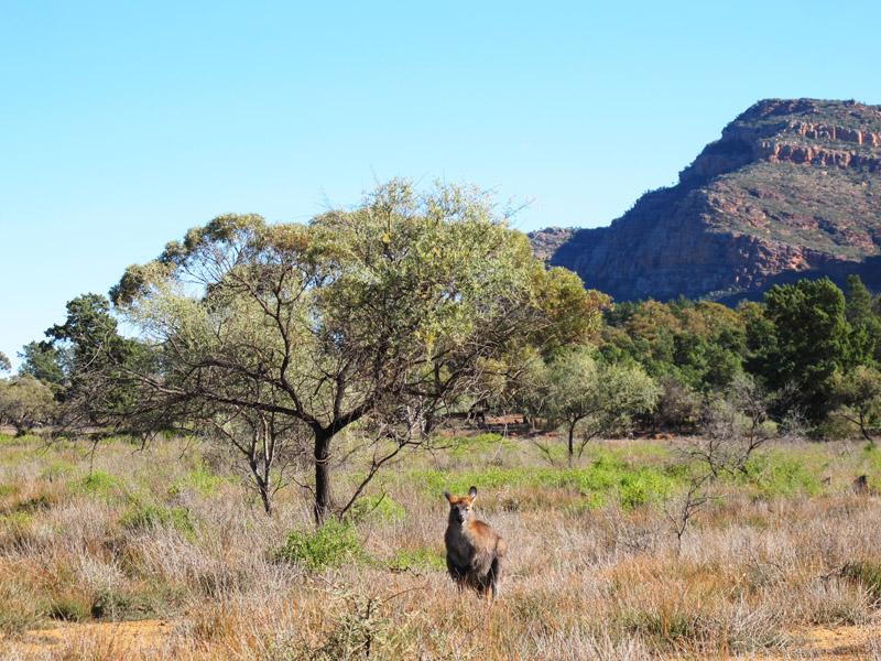 Tête à tête avec un wallaby aux Flinder Ranges