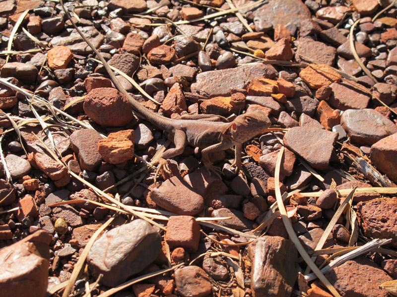 Lézard du bush australien