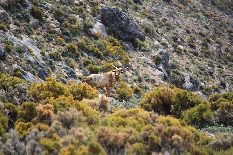 Chèvre espagnol dans la montagne