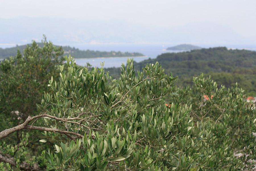 Oliviers sur l'île de Korcula, Brac