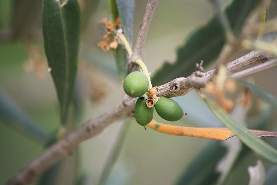Olives de Croatie
