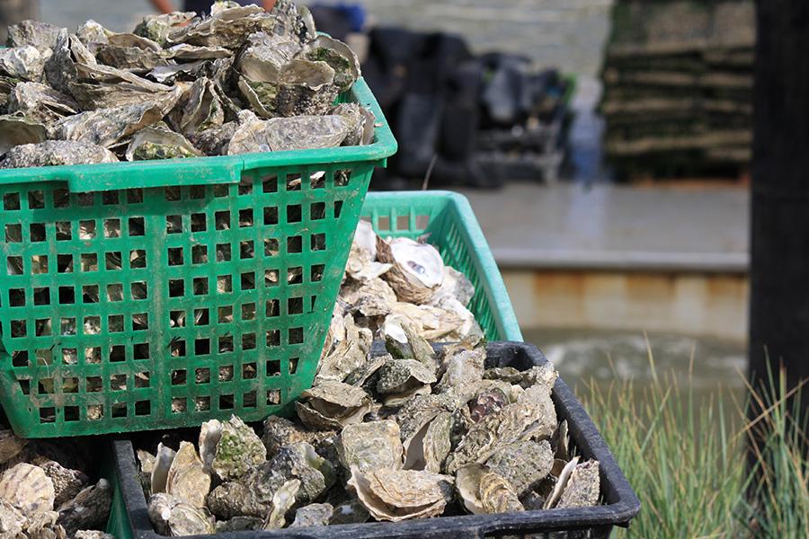 Poches d'huitres de Charente