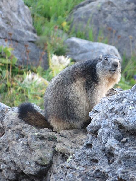 GR TMB marmotte alpes