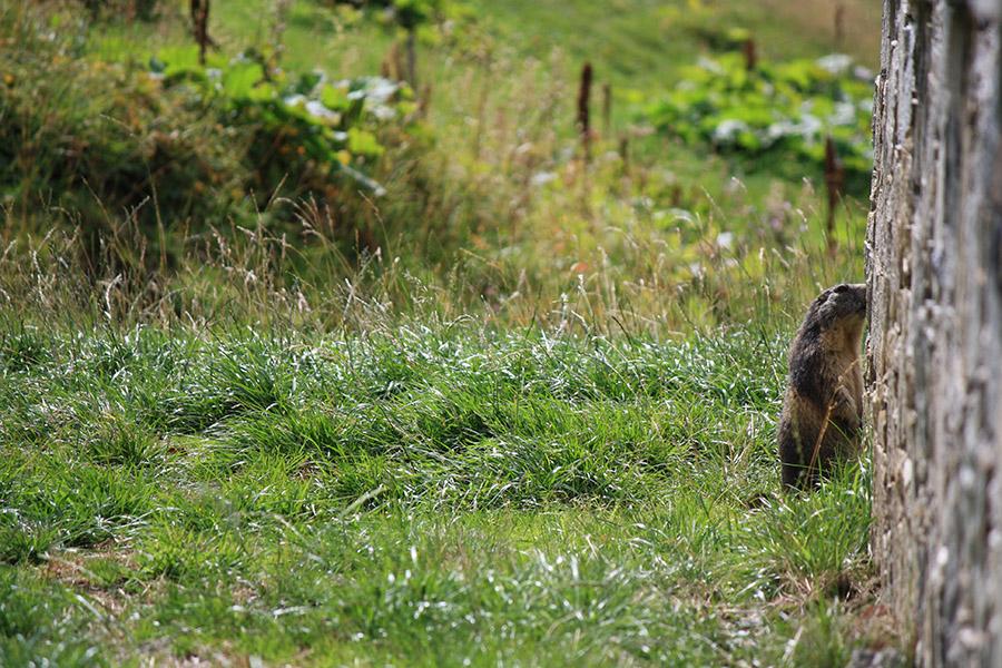Marmotte aux Mottets