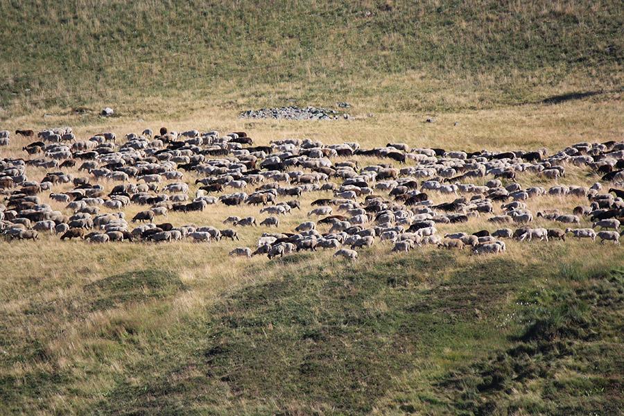 Berger et moutons d'Auvergne