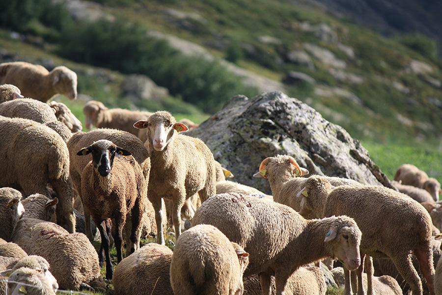 Berger et brebis dans les Alpes