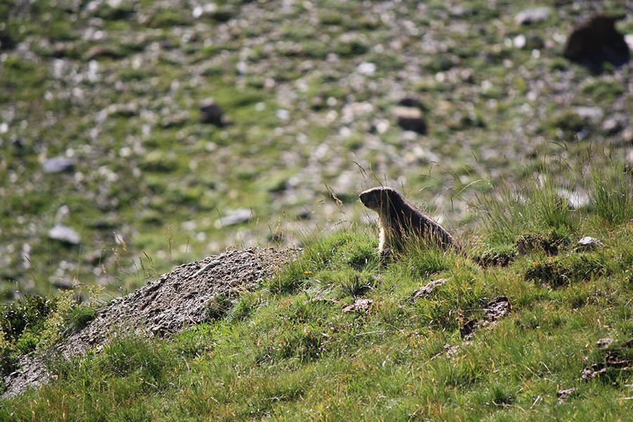 Marmotte des montagnes