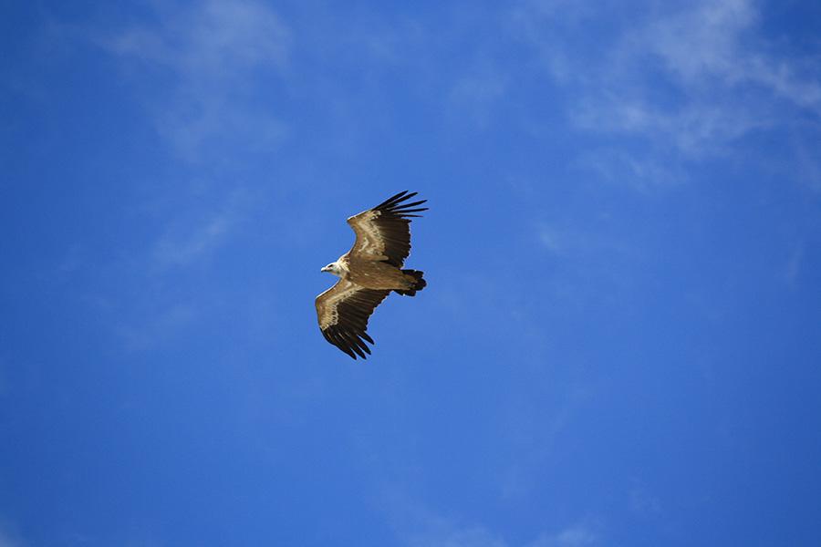 Aigle royal dans le parc des Ecrins