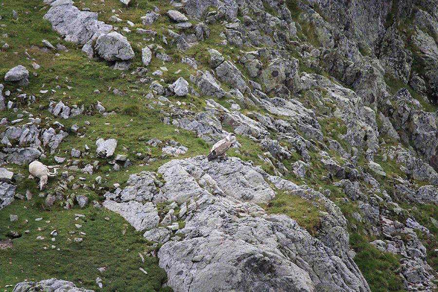 Alpes, aigle venant d'attraper une brebis