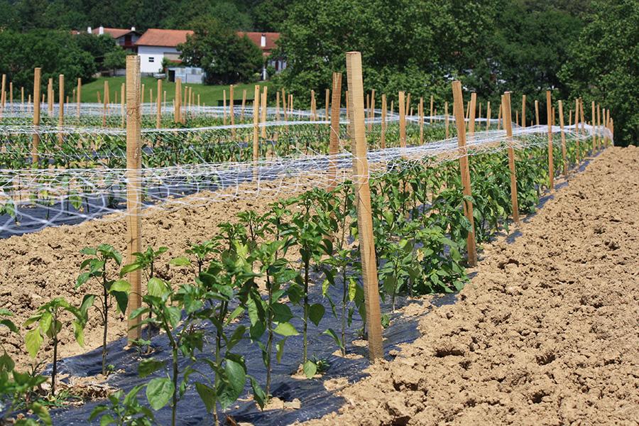 Plantation de piments d'Espelette