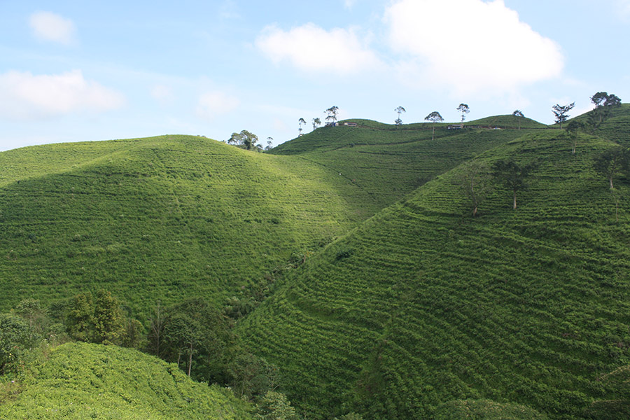 Indonesie_Java_Solo_CandiSukuh_Cetoh_Tea (1).jpg