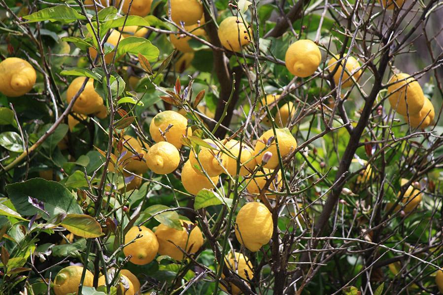 Citrons italiens