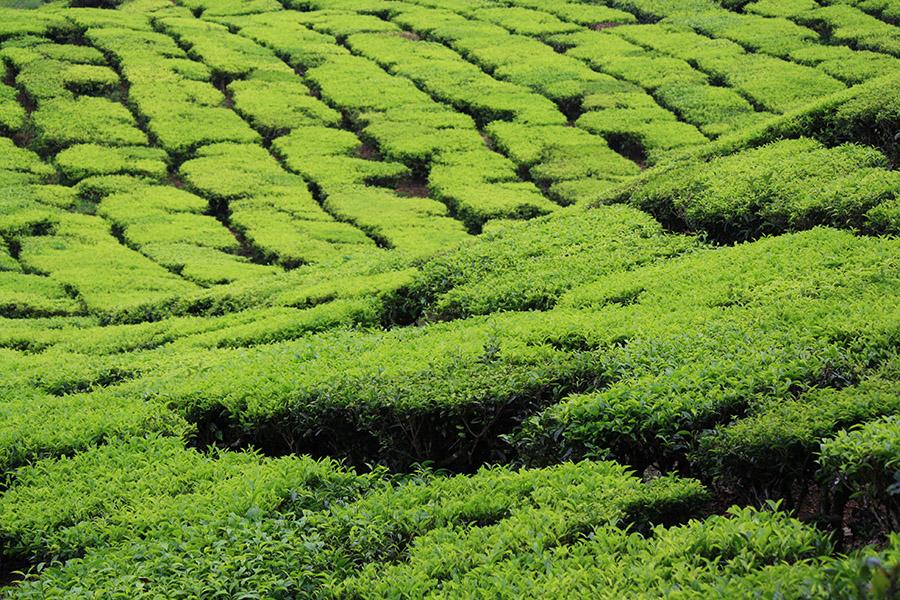 Malaisie_CameronHighlands_Tea_BOH_MossyForest (34).jpg