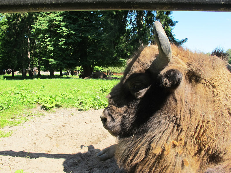 Bison d'Europe à Bialowieza en Pologne